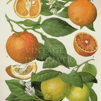 Vintage Botanical Print Antique CITRUS, plant print botanical print, bookplate art print, citrus orange fruit plants plant wall