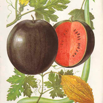 Watermelon, Vintage Fruit Botanical Print, Food Plant Chart, Art Illustration, Kitchen Decor Series