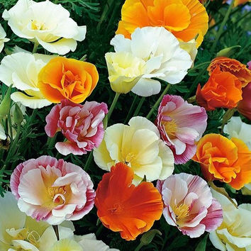 Poppy Ballerina Mix Flower Seeds (Eschscholzia Californica) 200+Seeds