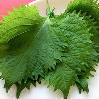90 Japanese Perilla Herb Seeds| Green Shiso Frutescens Crisped Common Sushi | Fragrant and Delicious Asian Cuisine | Home Garden Plant
