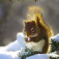 Christmas Squirrel Photograph by ABeautifulSky  Photography - Christmas Squirrel Fine Art Prints and Posters for Sale