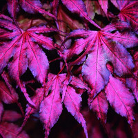 "20 ""Purple Ghost"" Japanese Maple Beautiful Seed - Acer Palmatum -  Novelty Plant Tree Seeds Bonsai Garden Decor DIY Home"