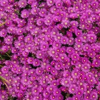 Delosperma cooperi,buy Cooper's Ice Plant for sale