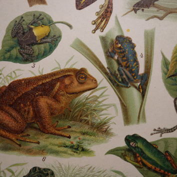 FROG TOAD print 1909 old frogs and toads print antique pictures drawings of frog and toad oude prent van kikkers illustration 15x25c 6x10""