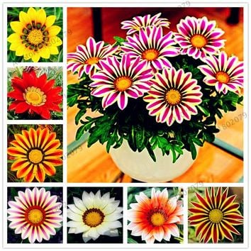 100pcs/bag Mixed color Gazania rigens seeds, flower Seeds for home&garden, bonsai plant for indoor outdoor planting