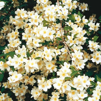The Dirty Gardener Philadelphus Coronarius Sweet English Dogwood Mock Orange Flower Shrub
