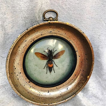 Banded Hornet: Framed Insect Bug Entomology Oddities Curiosities Victorian Steampunk Gothic Macabre Bohemian Horror Witchcraft Occult Creepy