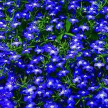 1000 Electric Blue & White Half Moon Lobelia Erinus Flower Seeds From The Dirty Gardener