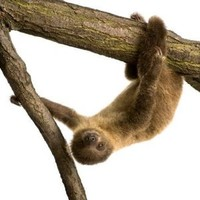 Wallmonkeys WM175838 Baby Two-toed Sloth 4 Months - Choloepus Didactylus Peel and Stick Wall Decals (18 in H x 18 in W)