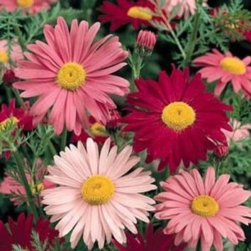 The Dirty Gardener Painted Daisy Flowers, 30 Seeds