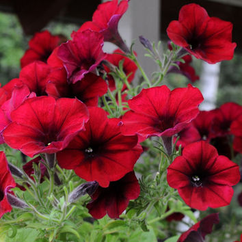 100 Dark Red Velour Petunia Rare Flower Seeds, Cold Hardy, Heat Tolerant, Balcony Garden House Decor Plant DIY Grow Potted