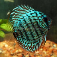 Tropical Fish for Freshwater Aquariums: Checkerboard Discus