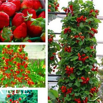 Hot Sale! 200 Count/Pack Climbing Red Strawberry Seeds  * NON-GMO Strawberry - Mount Everest*