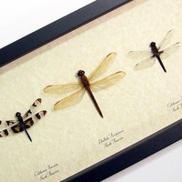 Real Framed North American Dragonfly Collection 7883