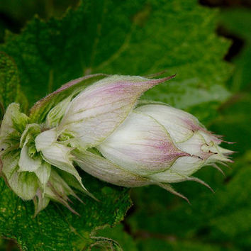 Clary sage 40 seeds, salvia sclarea, the 'good', the orvale, antioxidant, antimicrobial, medicinal and aromatic