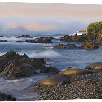 Northern Elephant Seals Resting on the Beach, Point Piedras Blancas, California