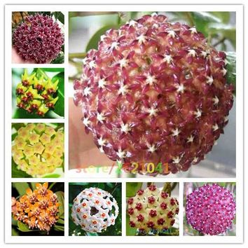 Ball orchid seeds, potted seed, hoya carnosa flower seed Garden plants, perennial planting - 20 seeds indoor plants