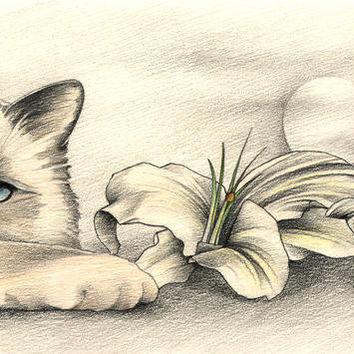 Lily The Birman Drawing by Johanna Pieterman - Lily The Birman Fine Art Prints and Posters for Sale