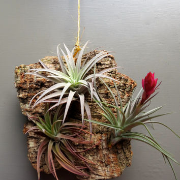 Three Exotic Air Plants on Cork Bark for wall mount  (Mini Size). A Pretty & Easy-To-Care-For Gift!