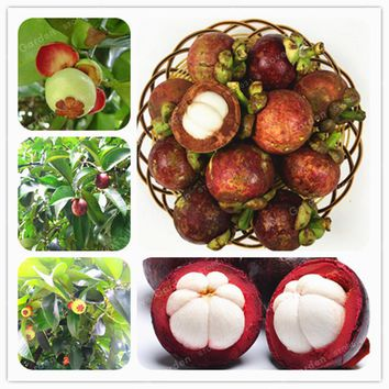 Family Clusiaceae Garcinia Mangostana Seeds Evergreen Tree Purple Mangosteen Fruit Seeds Rate 95% Garden Plant 20 Pcs
