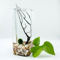 Japanese Marimo Moss ball large cube terrarium with FREE customized gift tag and shipping