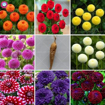 2pcs Dahlia Bulbs Bonsai Mix Color Rare Dahlia pinnata Flowers Seeds Perennial outdoor flowering Plant for Home garden pot plant