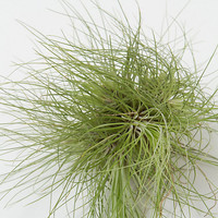 Filifolia Giant Tillandsia