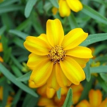 Mexican Mint Herb Seeds (Tagetes Lucida) 50+Seeds
