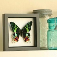 Sunset Moth Insect Shadowbox Art Frame by BugUnderGlass on Etsy