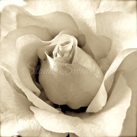 Rose Photography, Still Life Photography, Rose Bud, Garden Photography, Ivory Art, Cottage Photography, Nature Photography, Art Print