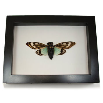 Framed Insects Tosena Fasciata Cicada Real Insect Collection Entomology Dried Insect Specimen