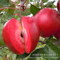 Apple red apple fruit love red meat, potted fruit trees can be planted fruit trees 50 Seeds/Pack
