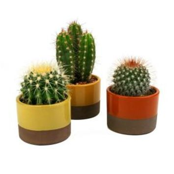 3.5 in Assorted Cactus Plant in Horizon Deco Pot (3-Pack) 0881009 at The Home Depot - Mobile