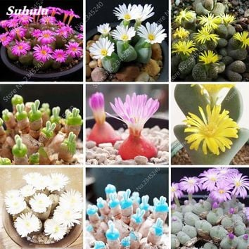 Exotic Rainbow Lithops Flowers Seeds Stone Flower Seeds Indoor Perennial Bonsai Plants for Flower Pot Planters 150PCS/ bag