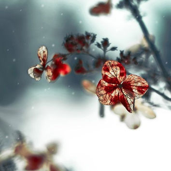 Hydrangea photography, floral wall decor, winter photos, red blue gray, fine art photography, winter garden