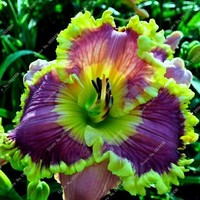 New 100 Pcs/Bag Fresh Rare Hybrid Daylily Flowers Hemerocallis Lily Indoor Bonsai Home Garden Supplies for Flower Pot