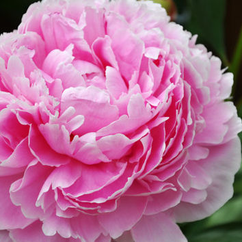 5 Multi-petalled Pink Peony Flower King Seeds Rare Beautiful Garden Bonsai Plants Light Fragrant Big Blooming Gorgeous