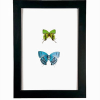 Tiny Hairstreak Butterfly Mounted Display