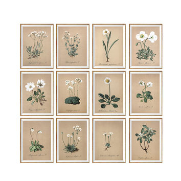Wild White Flowers Art Print SET OF 12. A4 Size. UNFRAMED. Floral Alps Herbarium Home Wall Decor Botanical Buds Art. Antique Illustration.
