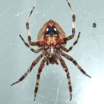 Orb Weaver Spider, Photograph, Original Picture, One of a Kind, Digital Download, Amazing Detail