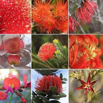 Wildflower Red Shades Mix Seeds (200+Seeds)