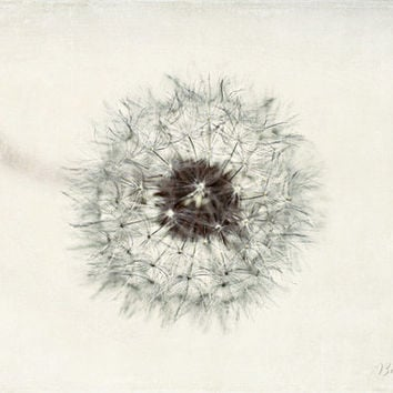 dandelion, flowers, nature, fine art photography