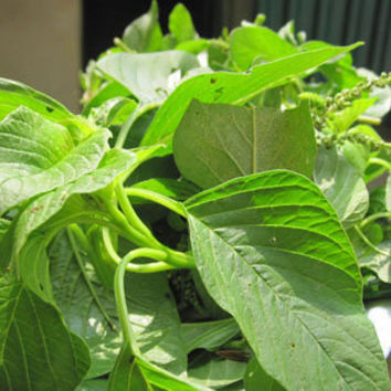 30 Jamaican Callaloo Amaranth Vegetables Seeds Real Organic Heirloom Seeds Used in West Indian & Asian Cuisines