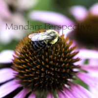 Bee on a Flower, Digital Photography Download, Instant JPEG File Transfer, Northern Ontario Nature Photography