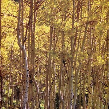 Tall Trees Yellow Leaves Printed Photo Background / 8036