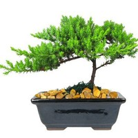 Eve's Small Japanese Juniper Bonsai Tree, 6 Years Old, Planted in 6 Inch Ceramic Container, Outdoor Bonsai