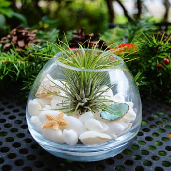 Airplant  Vase Terrarium Kit with Tillandsia  Air Plant and White Bubble Shells - Home Decor - Office Plant - Gift Idea - Beach - Starfish