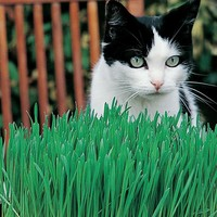 Cat Grass (Avena sativa) Seeds