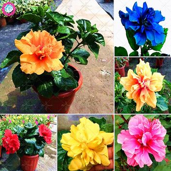 100PCS Giant double petals hibiscus seeds Rare blue hibiscus seeds Bonsai flower seeds Perennial indoor plant for home garden