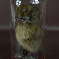 taxidermy of  2 headed black duckling mounted in glass case,free shipping to everywhere,Birthday Gift,Christmas Gift